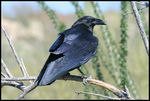 Title: Chihuahuan Raven to our Mexican friends