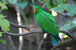 Title: Eclectus Parrot for Jane