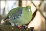 Title: Green Pigeon