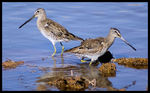 Title: Long-billed Dowitcher