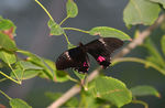 Title: Ruby-spotted SwallowtailCanon 350D