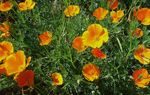 Title: California Poppies