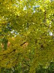 Title: Campus Ginkgo Trees