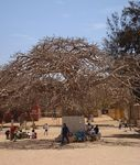 Title: Goree Baobab (Adansonia digitata)