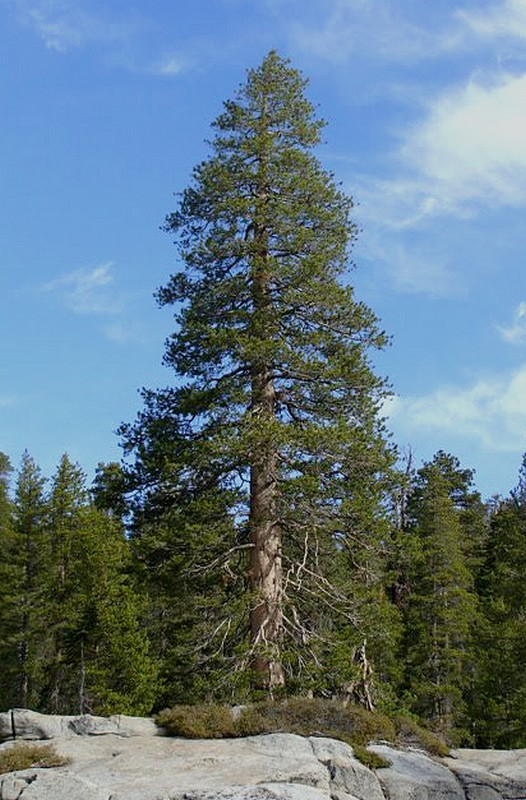 Anothertree along the Tioga Pass Highway