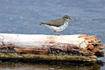 Title: Spotted Sandpiper