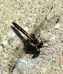 Title: DragonFly on Concrete