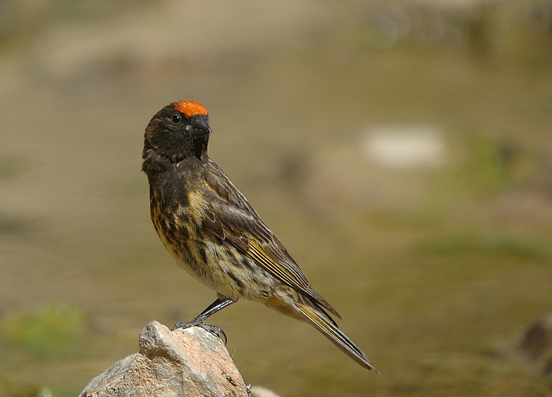 Red-fronted Serin II