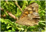 Title: Brown Butterfly