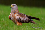 Title: Red Kite