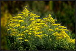 Title: Canada Goldenrod