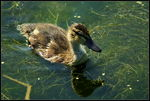 Title: Duckling