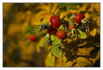 Title: Rugosa Rose Hips