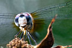 Title: blue dasher