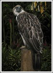 Title: Philippine Eagle