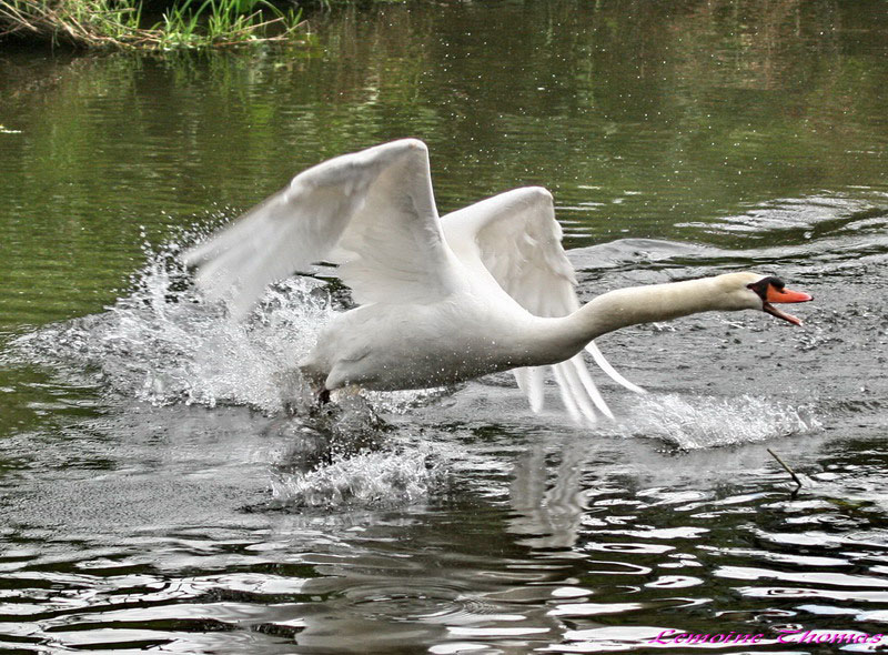 Attack swan