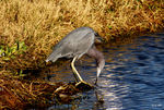 Title: Little Blue Heron,  Egretta caerulea