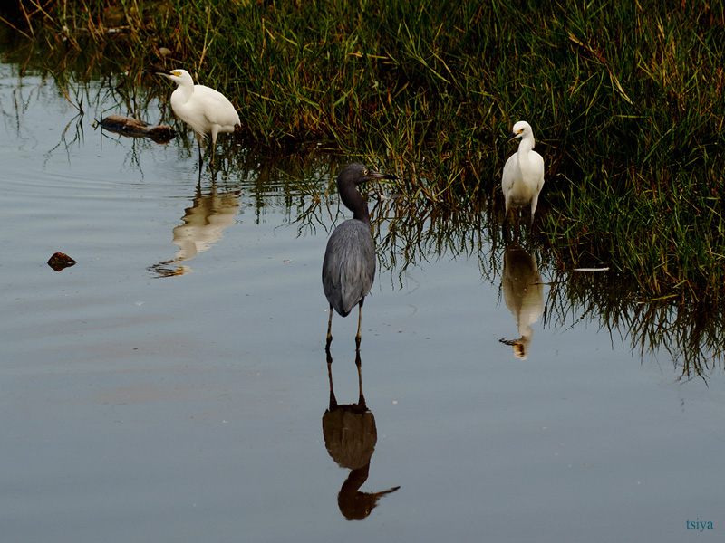 Little Blue Heron and Snowy Egrets