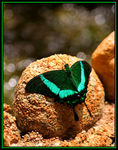 Title: Green SwallowTail Butterfly