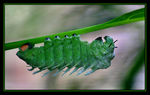 Title: Caterpillar Greens