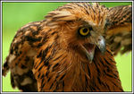 Title: Buffy Fish Owl