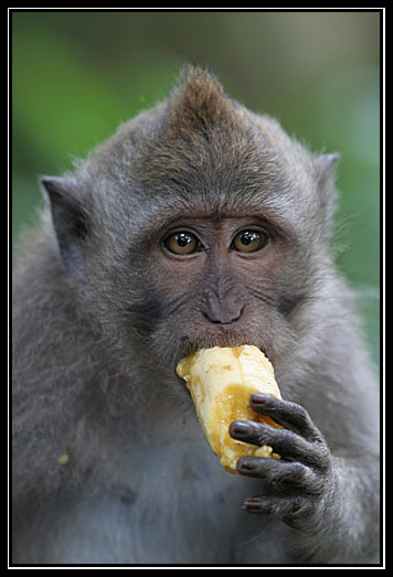 Long-tailed Macaques Monkey
