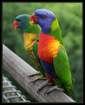 Title: Couple Lorikeets