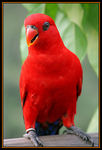 Title: Red Lorikeet