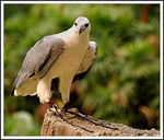 Title: White Bellied Sea-Eagle