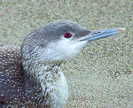 Title: Pacific Loon