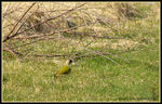 Title: Green woodpecker