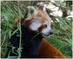 Title: International Red Panda DayPentax K100D