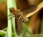 Title: Bee Fly