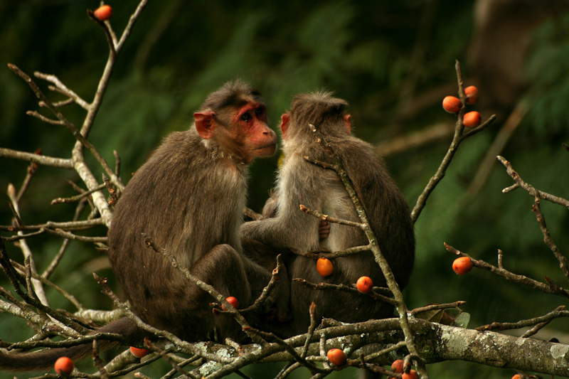 Macaques Family