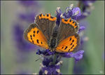 Title: Lycaena phlaeasSony SLT A77V
