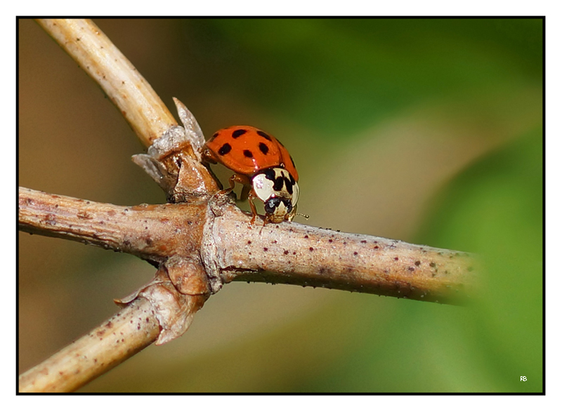 Coccinellidae