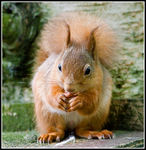 Title: Cyril the Squirrel