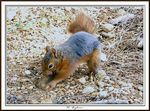Title: red_squirrel
