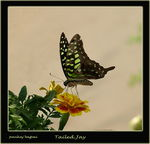 Title: Tailed Jay for Jay Meeuwig