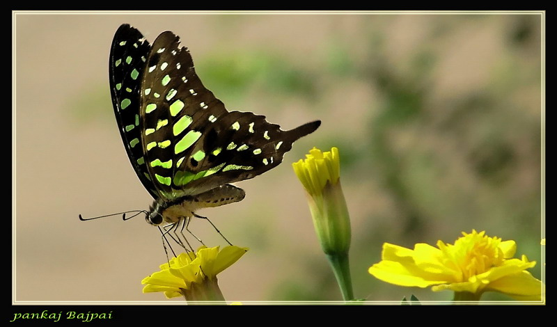 The Tailed Jay (1) (Graphium agamemnon)