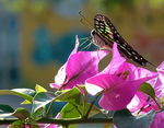 Title: Swallowtail on Bougainvillea