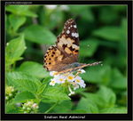 Title: The Vanessa Cardui