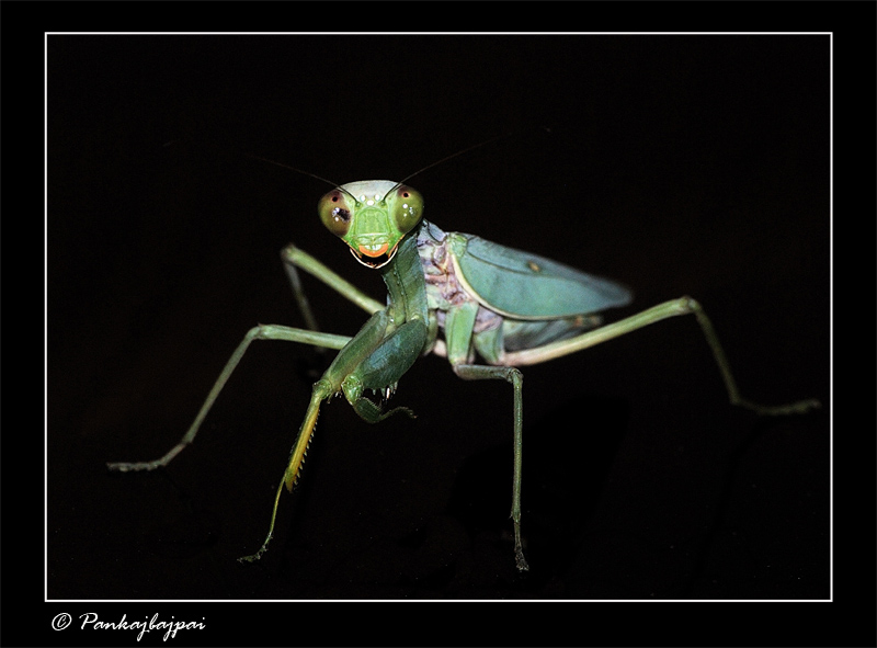 Portrait of a mantis