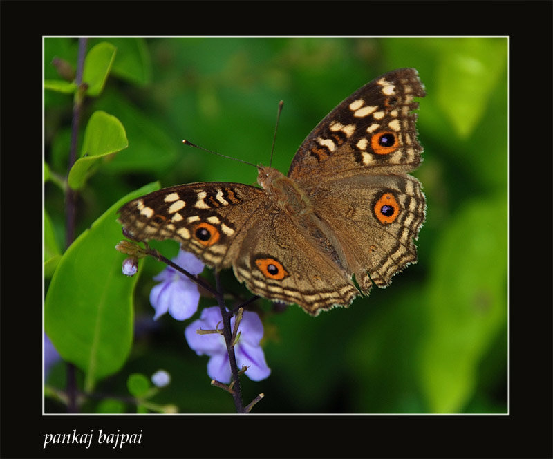 My 100th Butterfly