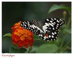 Title: The Papilio DemoleusNikon D80