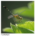 Title: Ground Skimmer  (Diplacodes Trivialis)