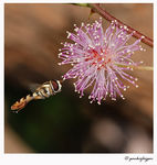 Title: Hoverfly & Mimosa Pudica