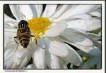 Title: Hoverflies