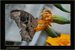 Title: Evening Brown Butterfly