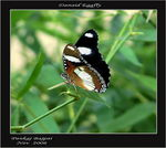 Title: Danaid Eggfly (Hypolimnas misippus)